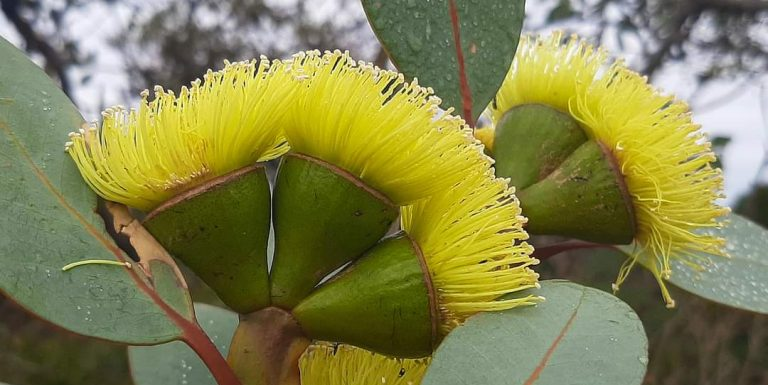 blooming eucalypts yellow blossoms with dewy leaves